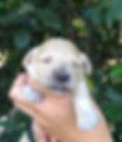 Goldendoodle Puppies San Francisco Breeder, Goldendoodle puppies california, english goldendoodles