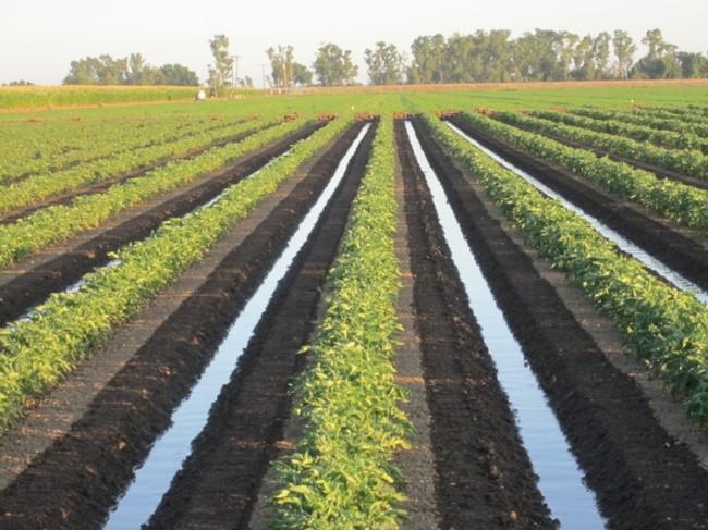 Tomato Field