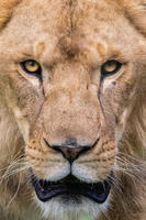LION STARE PRINT FROM NZD $40