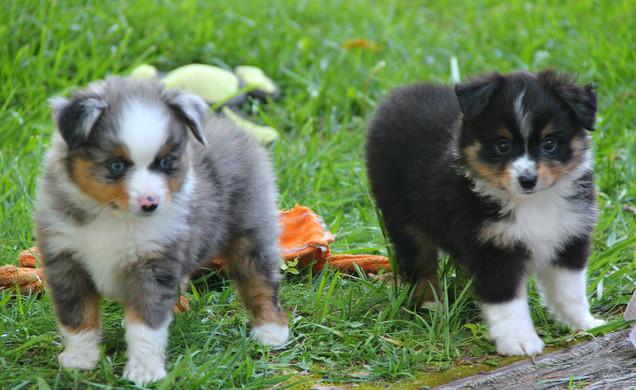 cleo puppies1.jpg