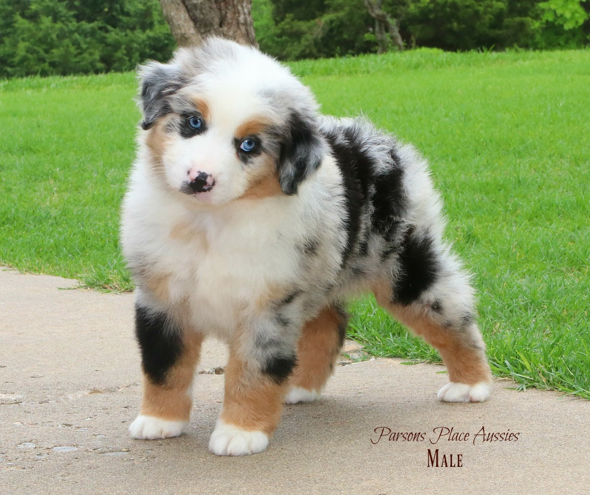Brea Blue merle male