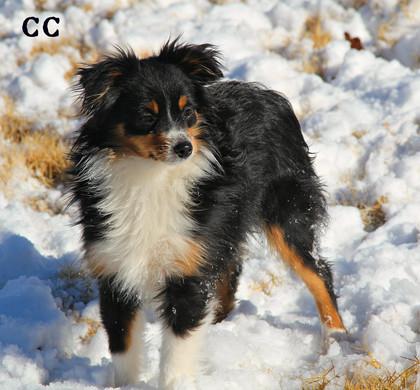 snow dogs cc 2.jpg