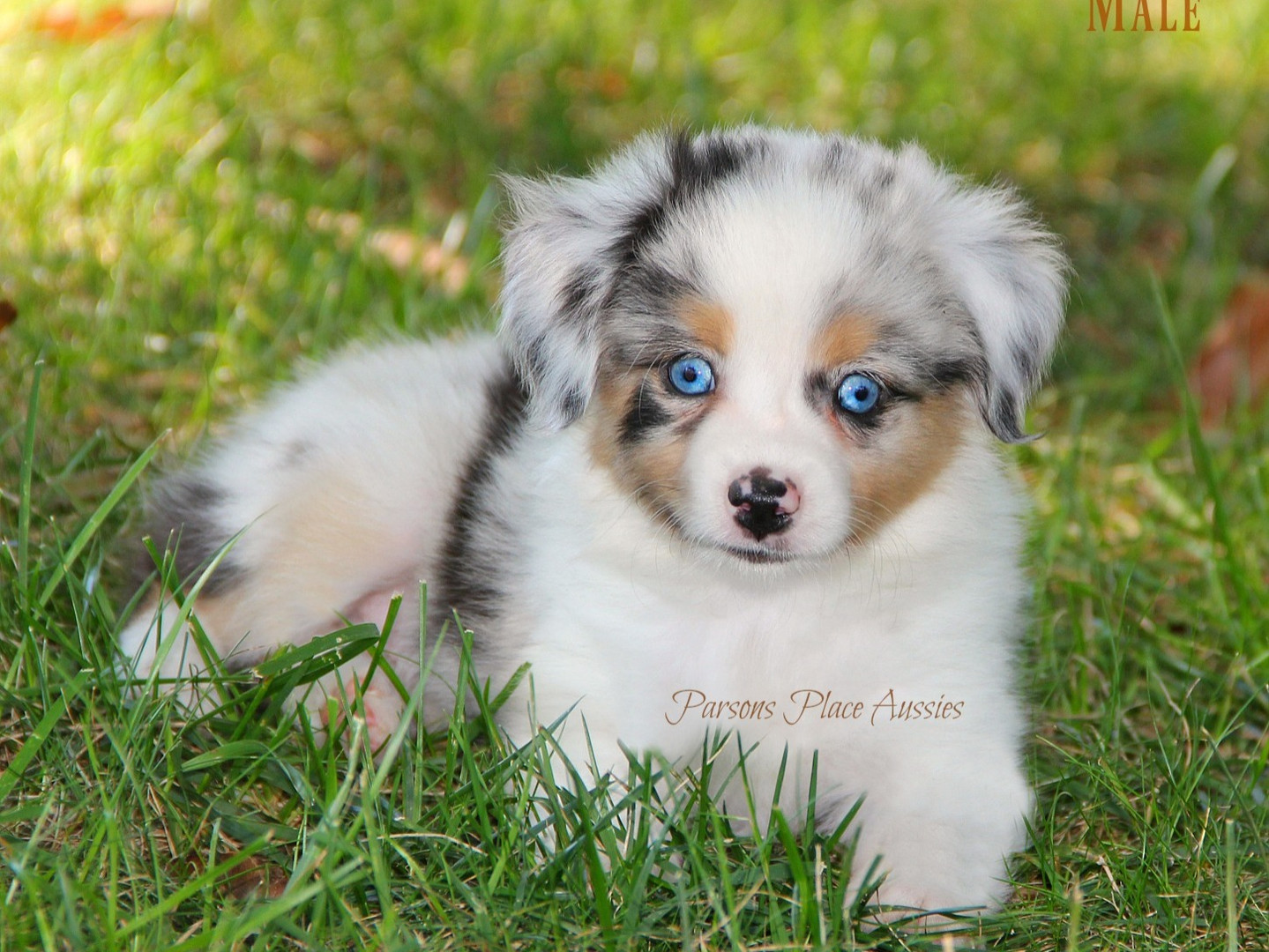 Cindys blue merle male puppy