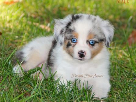 Cindys blue merle male puppy