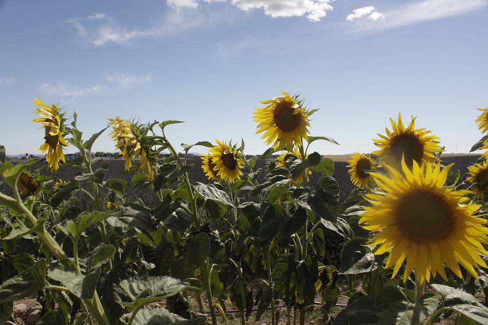 The sunflower fields