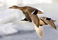 Mallards in flight Spalding Wildfowlers