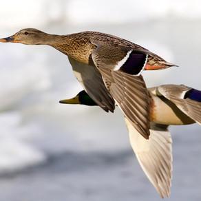 Ducks in Boston