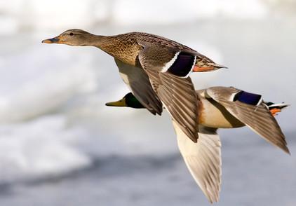 Enten fliegen über den Stausee in Losheim, www.fewo-dewes.com