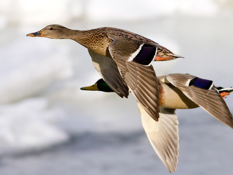 Many Ducks Still Hanging Out in Northern Plains