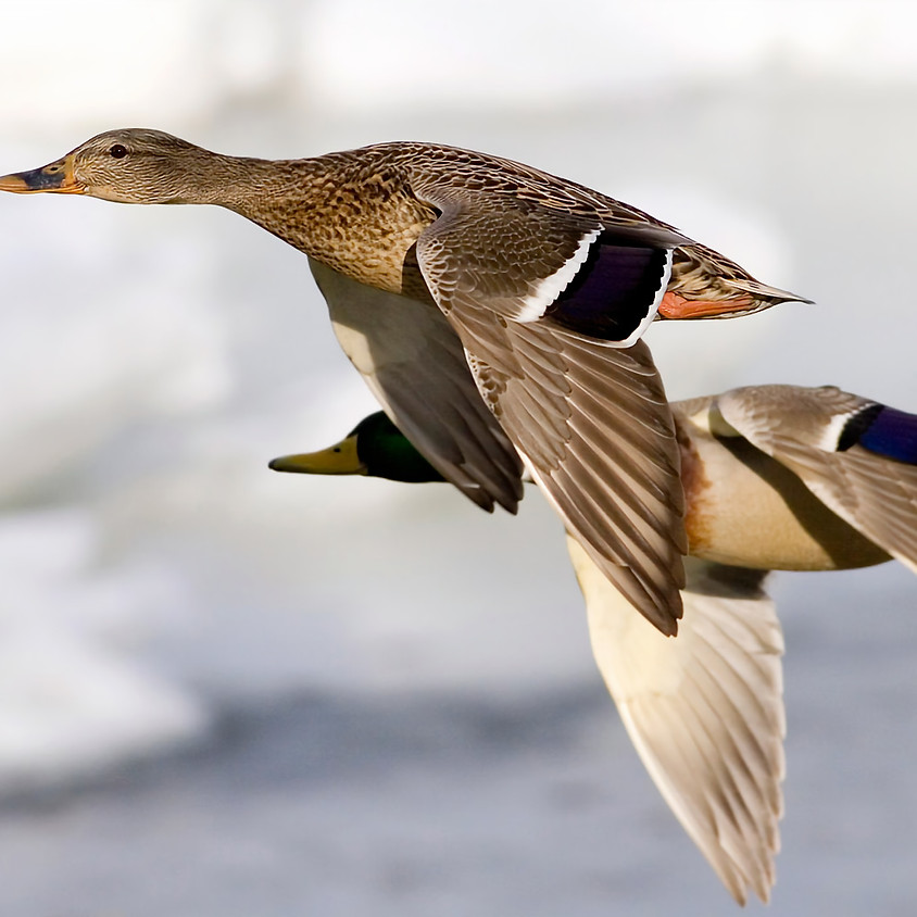 The MSFA/Vikings bird mortality study presentation