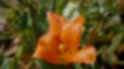 orange flower.tif