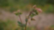 Flower 1.tif