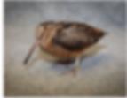 American Woodcock.png