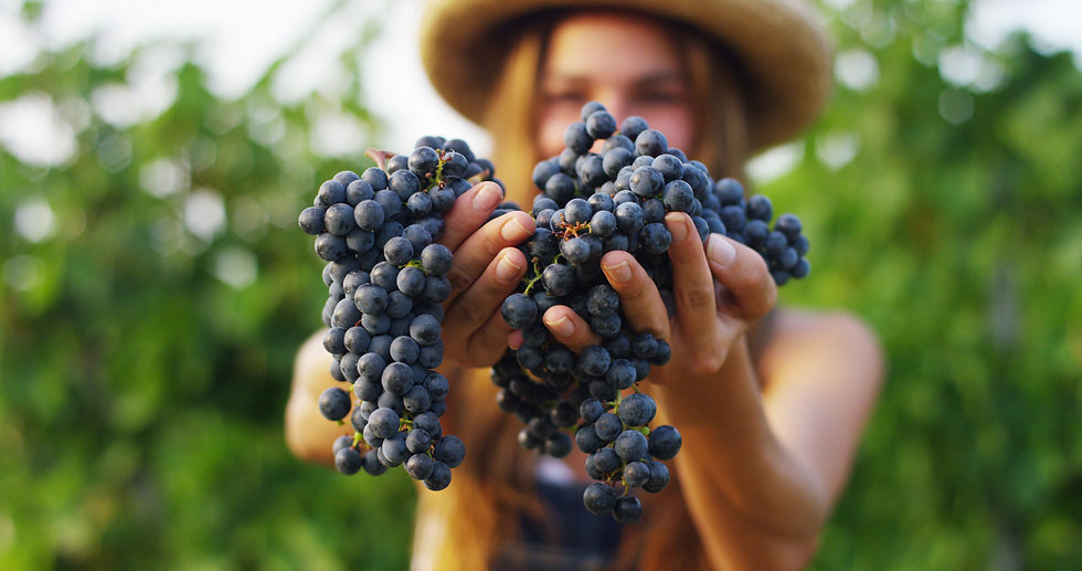 girl in September to harvest vineyards , collects the selected grape bunches in Italy for