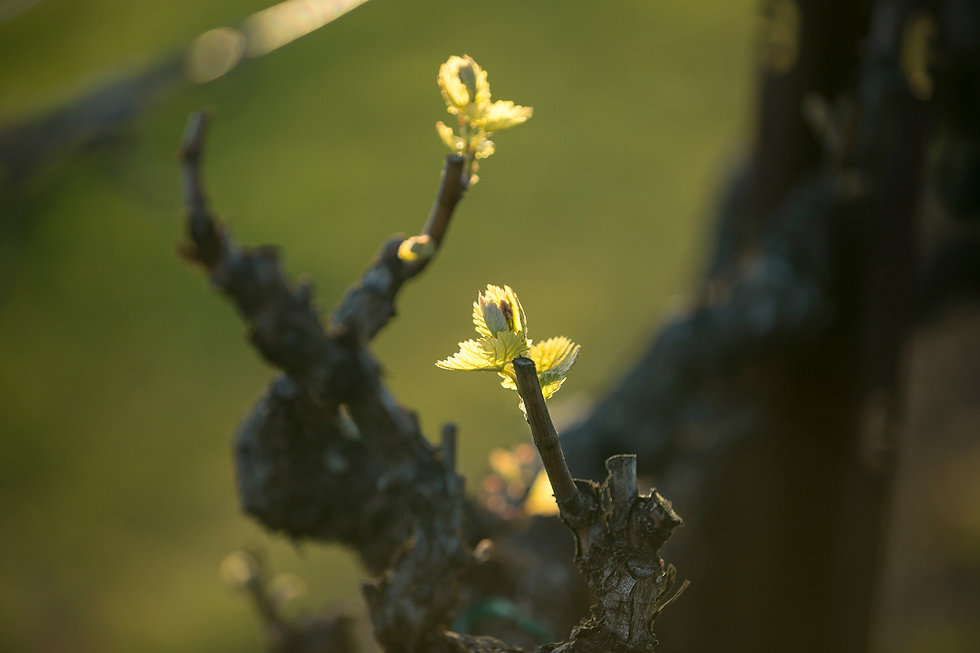 Close up view of new growth on grape vin