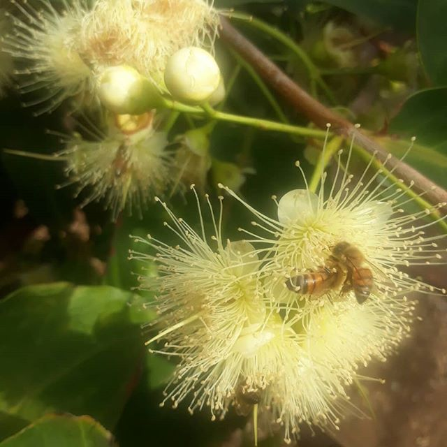 #honeybees collecting #pollen from #rose