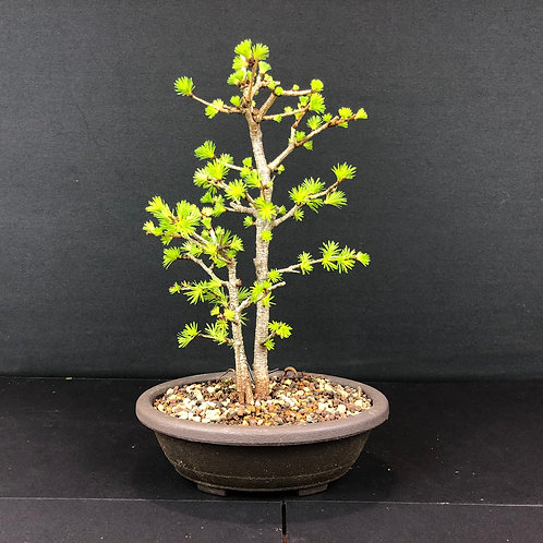 Japanese Larch Group (3 x trees)