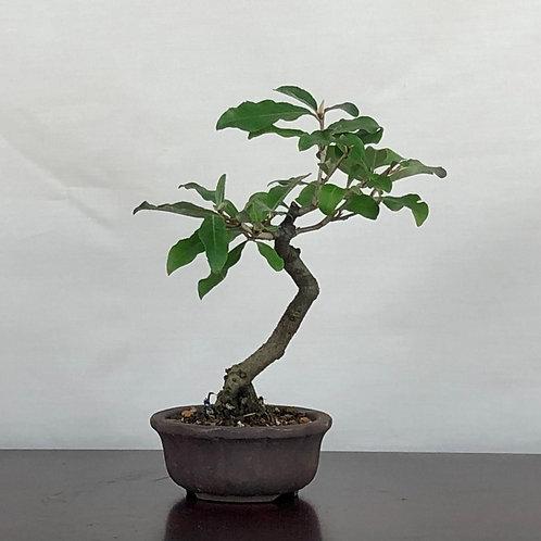 Eleagnus longifolia