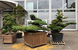 Niwaki Trees.JPG