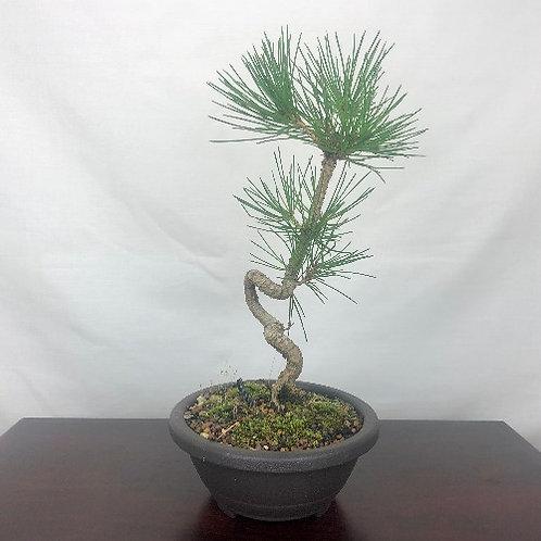 Japanese Cork Bark Black Pine