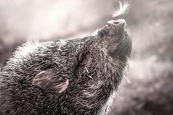 schwein2-neu