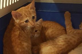 ginger B kittens bigger.jpg