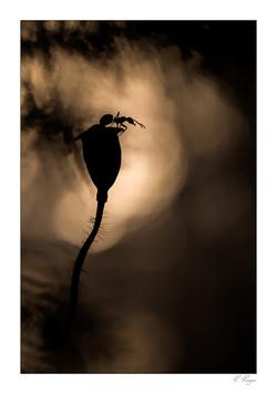 Fourmis rousse