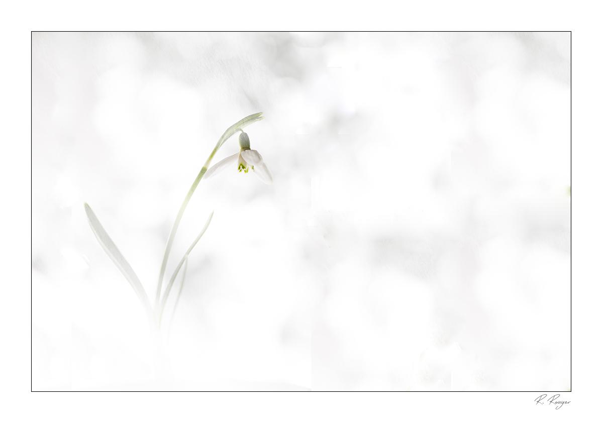 Perce neige (2)
