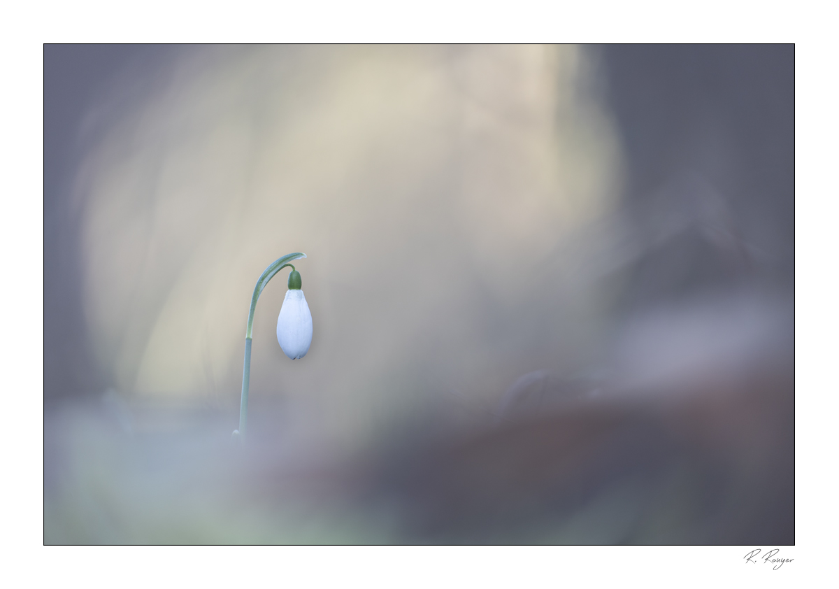 Perce-neige (1)