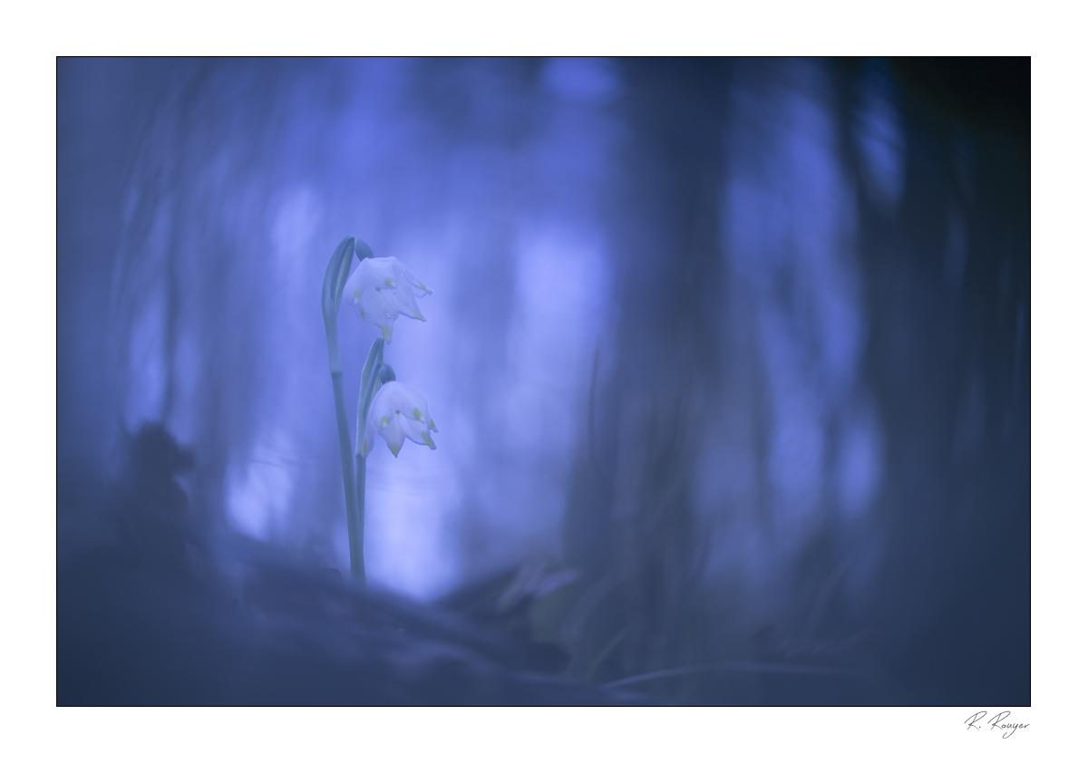 Nivéole de printemps (1)