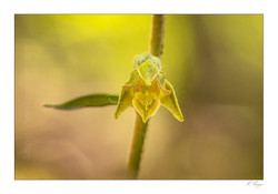 Epipactis microphylla fleur