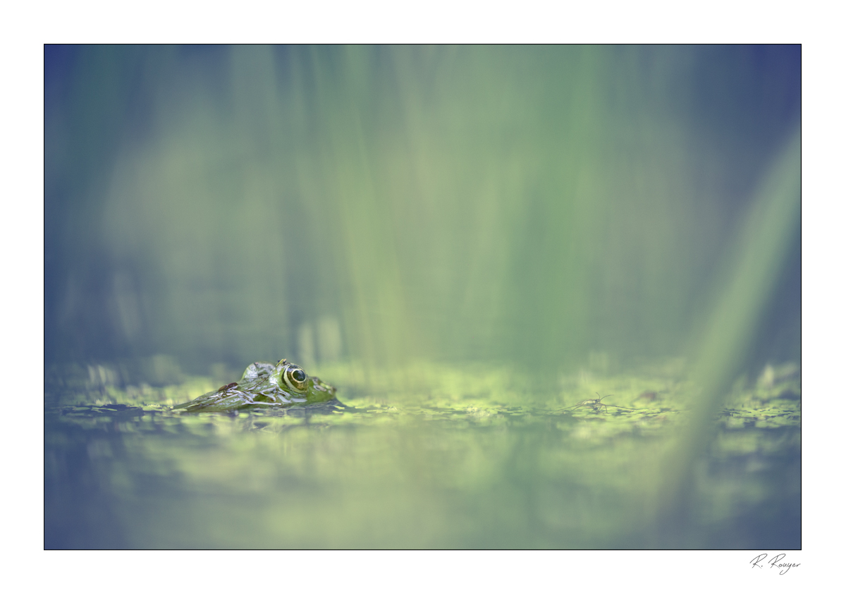 Grenouille rieuse (1)