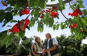 When is the best time to go cherry picking?
