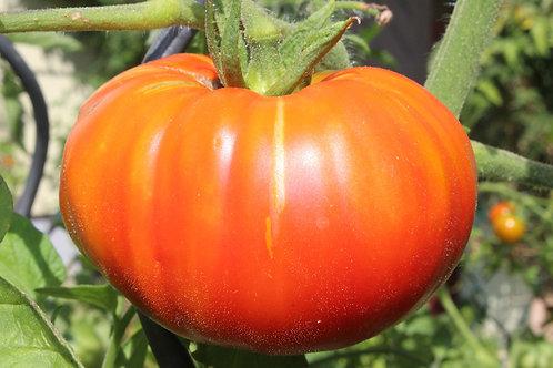 Tomato (Beefsteak)