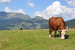 Les vaches pâturent