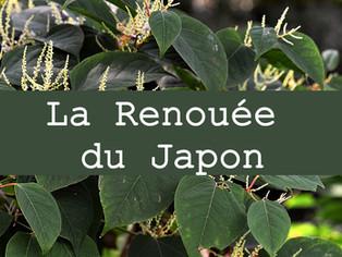 Comment utiliser La Renouée du Japon contre la maladie de Lyme, le cancer et l'inflammation ?