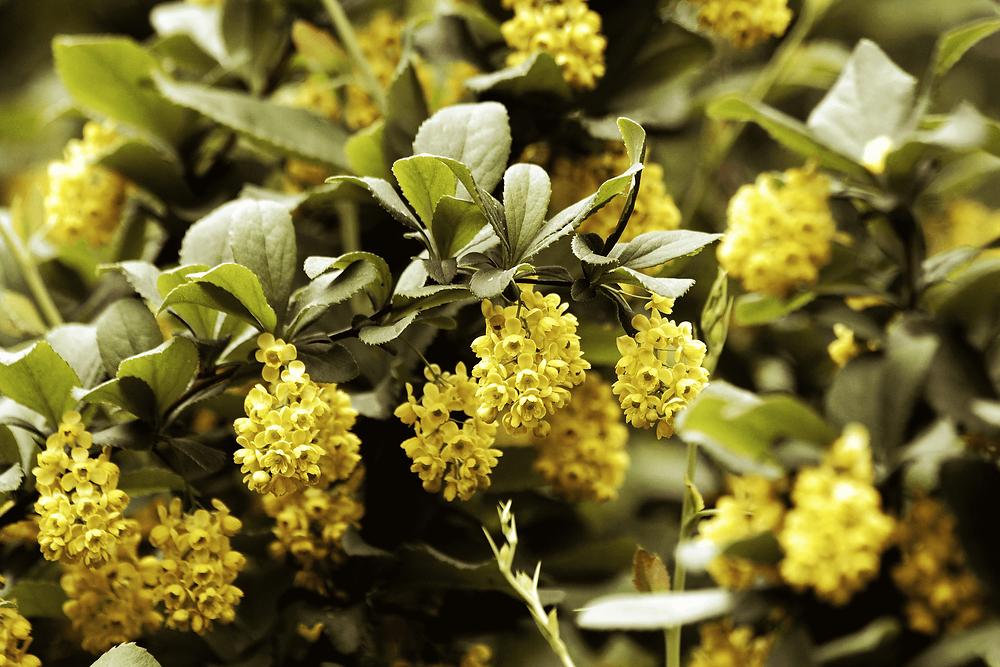 Fleurs jaunes de l'épine-vinette