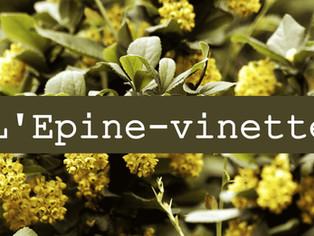 L'épine-vinette, un concentré de berbérine contre les infections virales et bactériennes