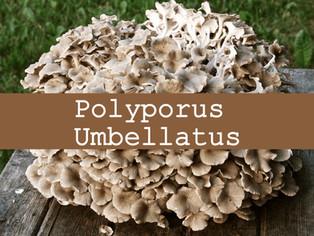 Polyporus umbellatus, pour lutter contre la rétention d'eau et prendre soin de ses reins et son foie