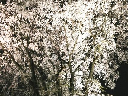 Le temps des cerisiers !
