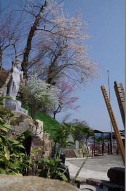 聖観音像と雪柳と桜