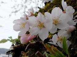 参道入り口の桜