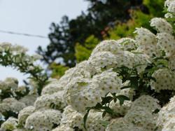 小手鞠の花
