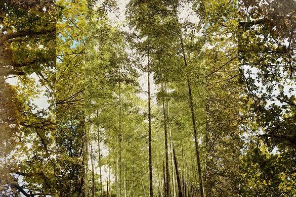 ©Gaëlle Abravanel, Forêts d'or, série Nouveaux Paysages 2020