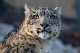 wildlife-zoo-cat-mammal-fauna-leopard-10