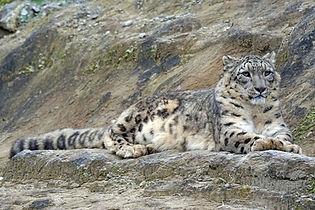 wildlife-zoo-cat-mammal-predator-fauna-1