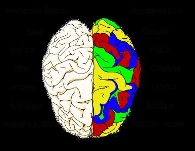 cerveau-2-hémispheres-300px.png