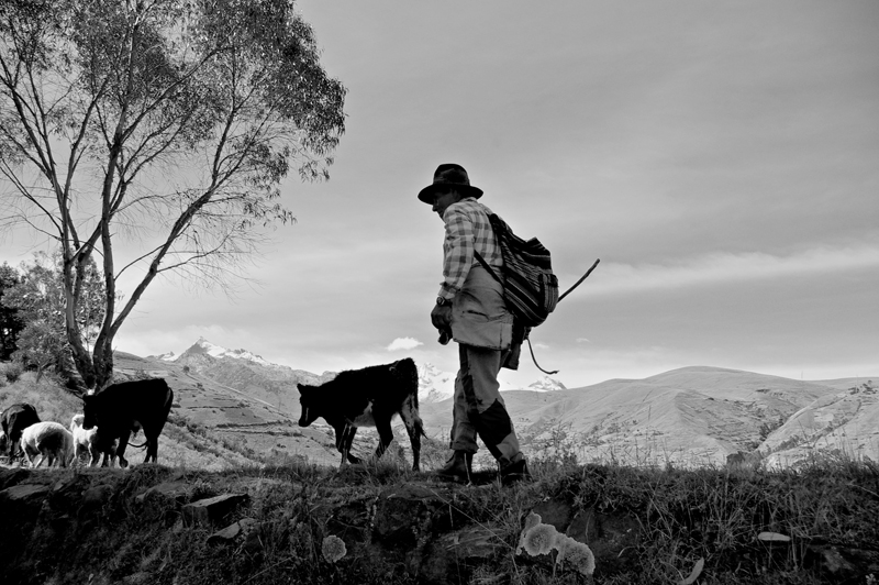 Herding In The Andes