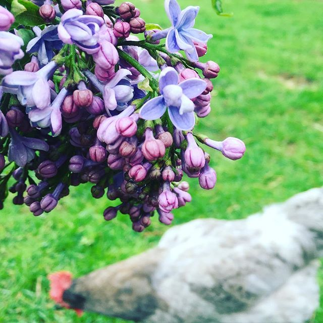 Isbar & Lilac~ #isbar #lilac #greeneggs #springchickens #ongrass #cedarcrestfarmandfeed