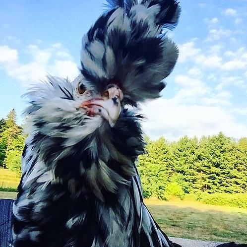 Mottled Houdan (female chick)